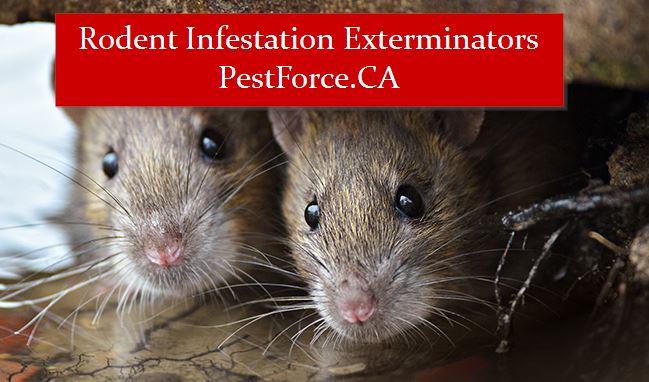 rodent-infestation-edmonton