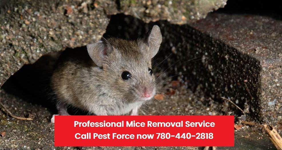 Mice Removal Price in Edmonton