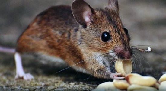 mice-removal-under-deck-in-edmonton
